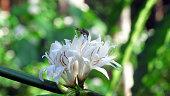 Robusta Coffee white flower