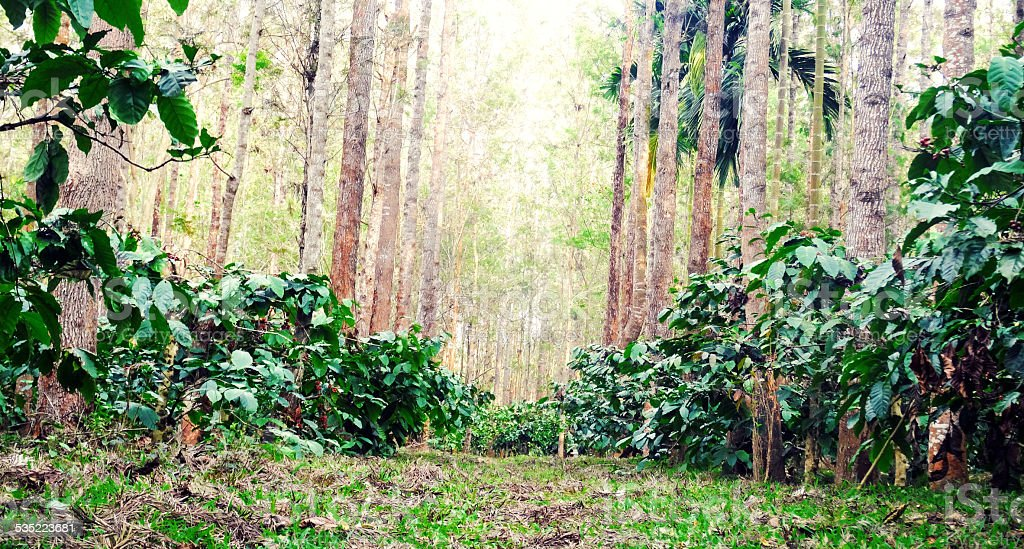 Robusta Coffee plantation stock photo