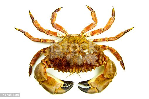 Rock crab, Cancer antennarius, with a white background.