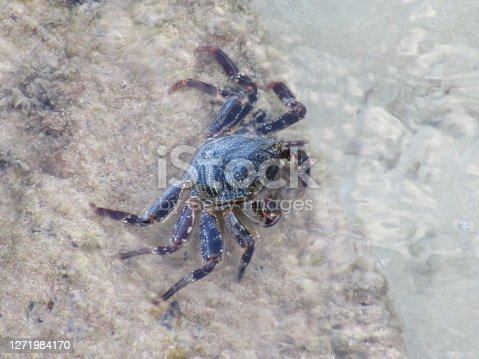 A close up of a small dark brownish rock crab in shallow water looking up at the camera.