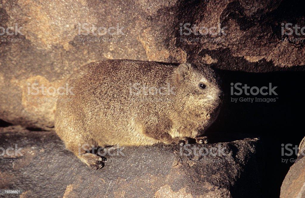 Rock dassie 免版稅 stock photo