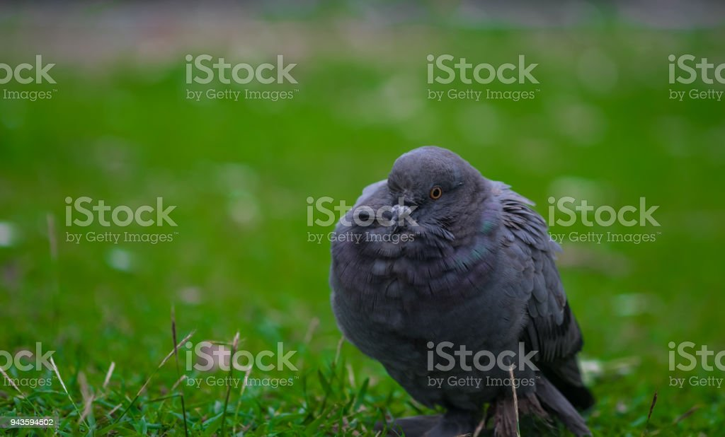 Rock dove bird. stock photo