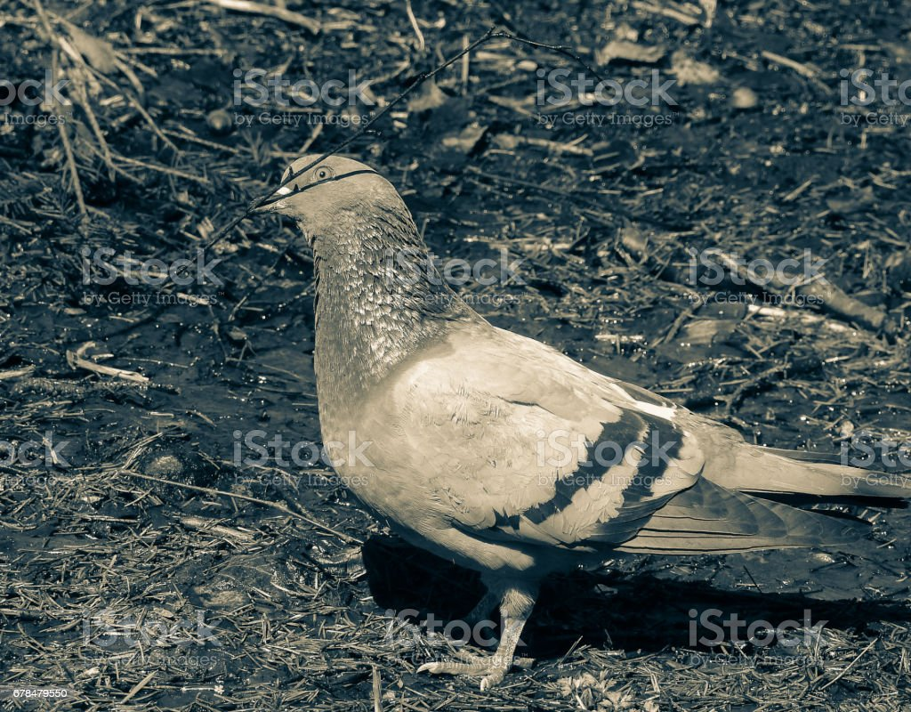 Rock dove (Rock pigeon). Columbidae family bird. Columba livia royalty-free stock photo