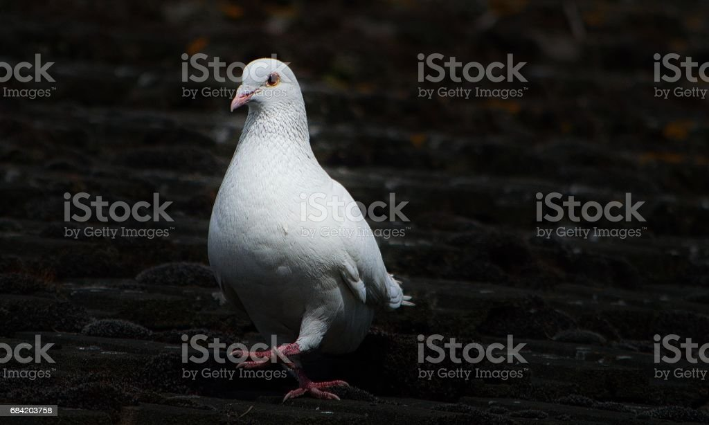 Rock Dove royalty-free stock photo