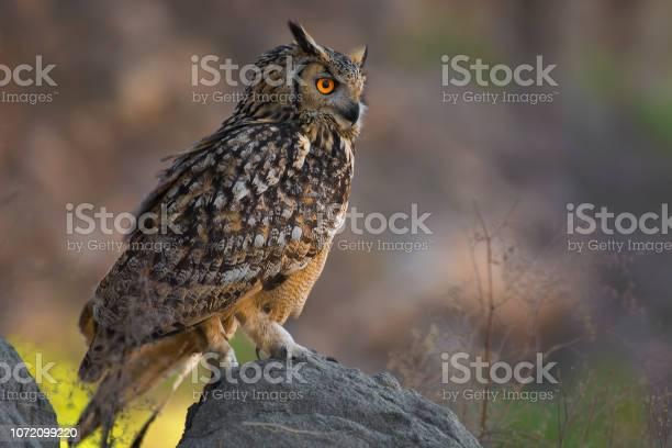 Rock eagle owl bengal eagle owl eurasian eagle owl indian eagle owl picture id1072099220?b=1&k=6&m=1072099220&s=612x612&h=fiegxmsqi7zxfgzf4whojyfd ymvrn7gk8pv5r rm k=