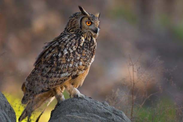 Rock eagle owl bengal eagle owl eurasian eagle owl indian eagle owl picture id1072099220?b=1&k=6&m=1072099220&s=612x612&w=0&h=vnzsjkth9nwzcmn n0k80sgbrgdwwhanlzld4uxbwvg=