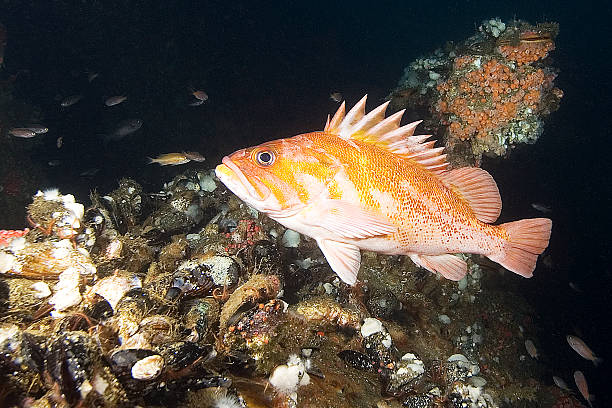 rock fish at california reef - artificial reef stock pictures, royalty-free photos & images