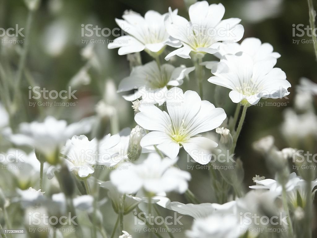 Rock Garden Plant Silver With White Flowers Stock Photo More