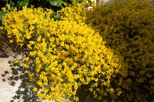 rock garden with genista in bloom in partial shade