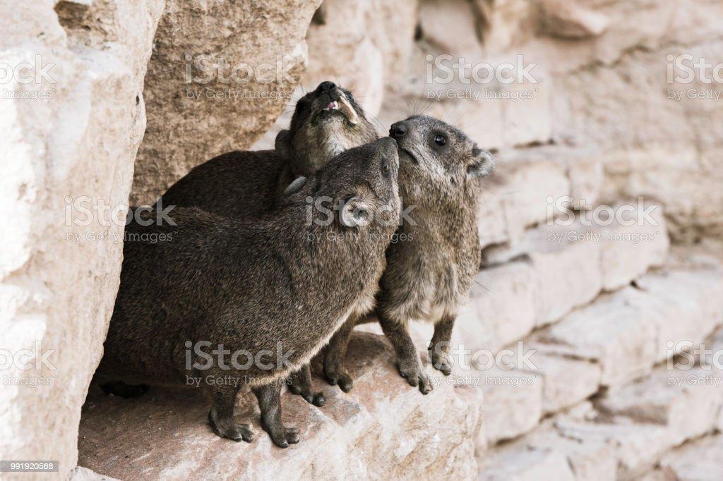 A Rock Hyrax animal stock photo