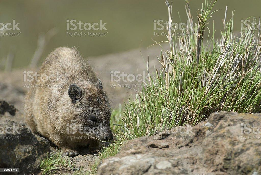 Rock Hyrax (Procavia capensis) royalty-free stock photo