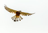 Rock Kestrel (Falco rupicolus) hovering in flight focussing down on his prey.