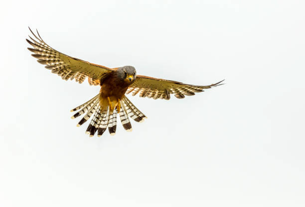 rock kestrel hovering in the air - falcon bird stock photos and pictures