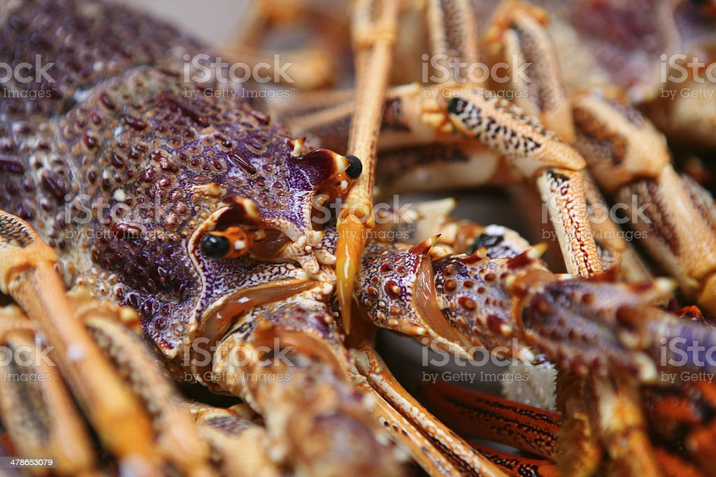 Rock lobster or cray fish, Tasmania, Australia stock photo