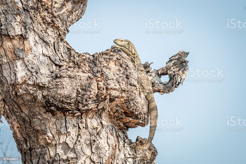 Rock monitor in a tree. stock photo