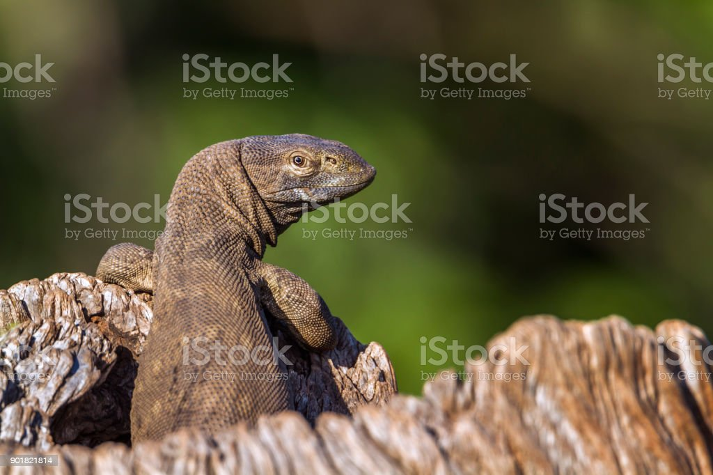 rock monitor in Kruger National park, South Africa stock photo