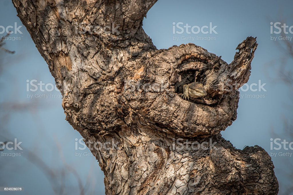 Rock monitor in the tree. stock photo