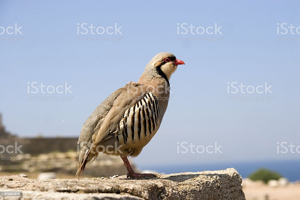 Rock Partridge at Sounion, Greece royalty-free stock photo