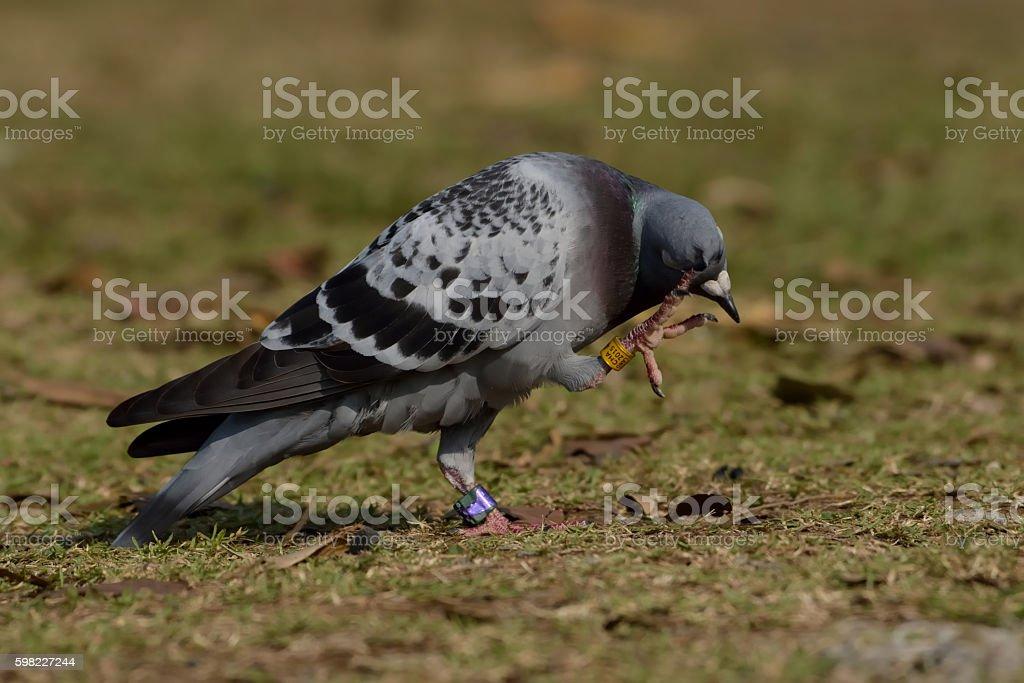 rock pegeion bird foto royalty-free