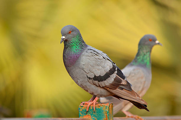 Rock pigeon Rock pigeon pigeon stock pictures, royalty-free photos & images