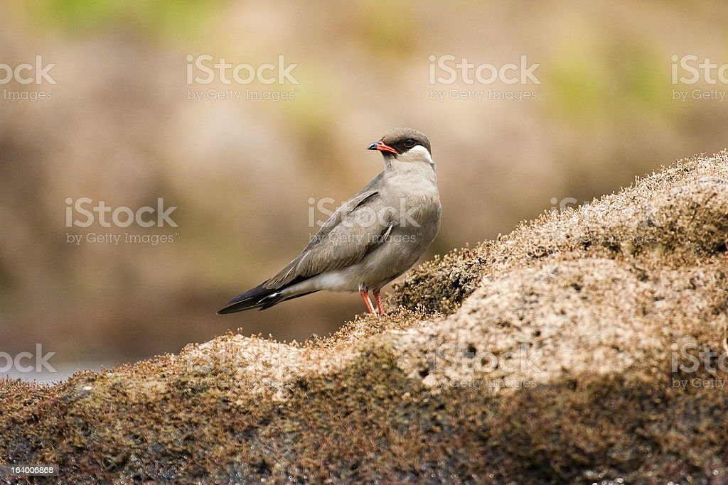 Rock Pratincole male on the ground in Zambia stock photo