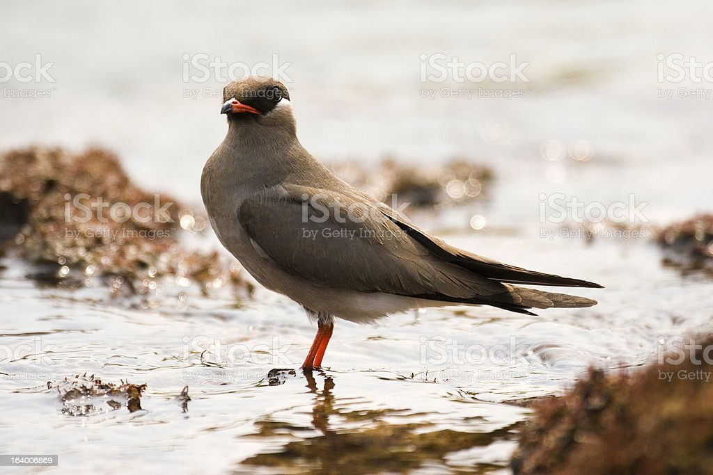 Rock Pratincole male standing in water Zambia stock photo