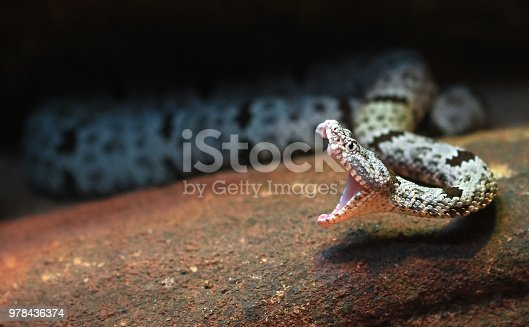 A rock rattlesnake (Crotalus lepidus) mid-strike, with fangs and inner mouth visible.