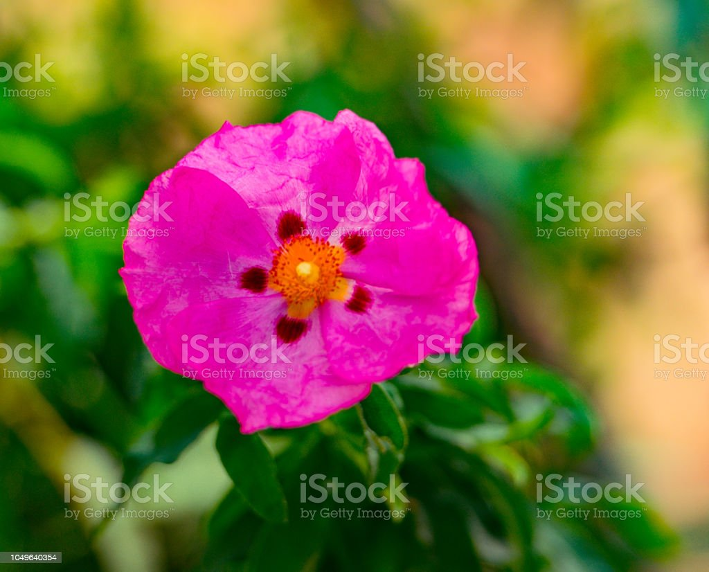 Rock rose close up of brilliant rose pink flower stock photo