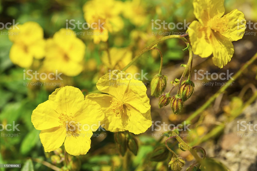 rock rose royalty-free stock photo