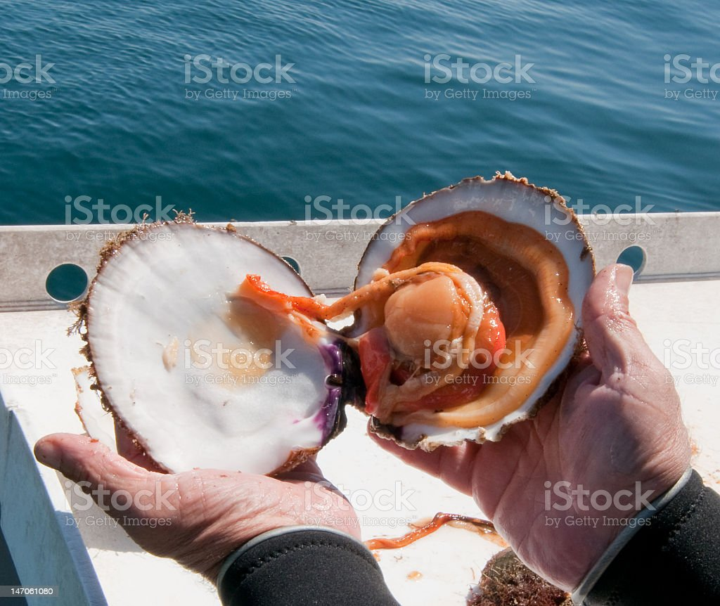 Rock Scallop Stock Photo More Pictures Of Animal Shell Istock