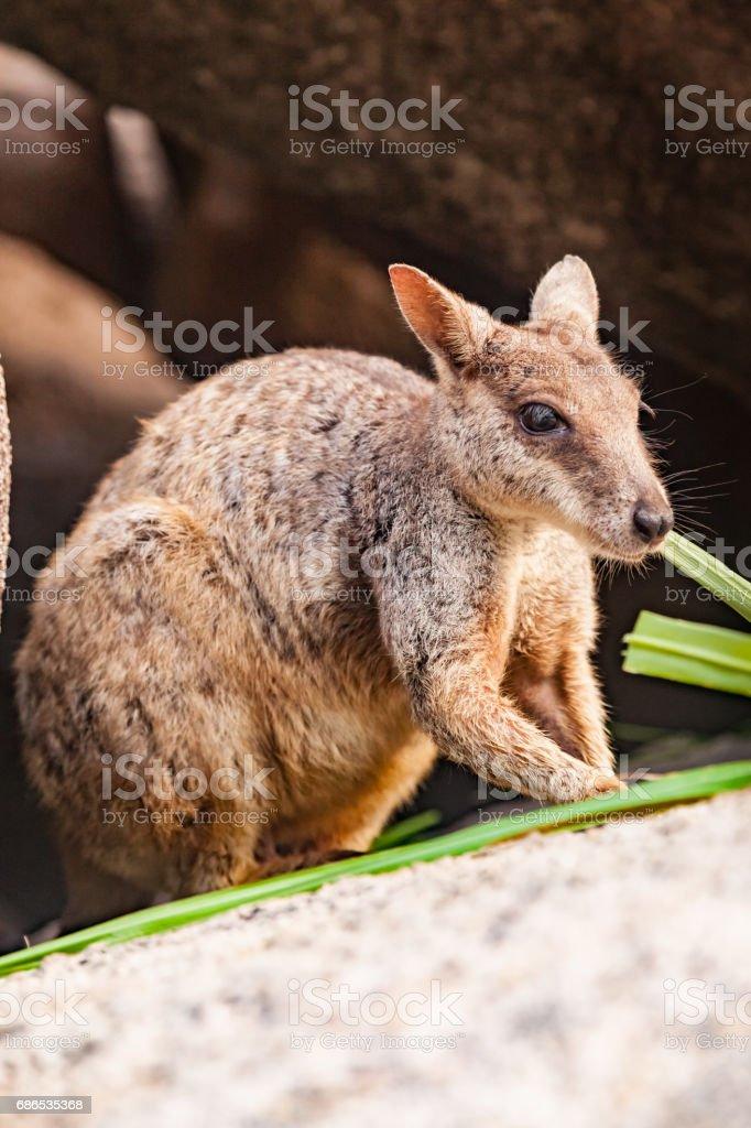 Rock Wallaby Australia zbiór zdjęć royalty-free