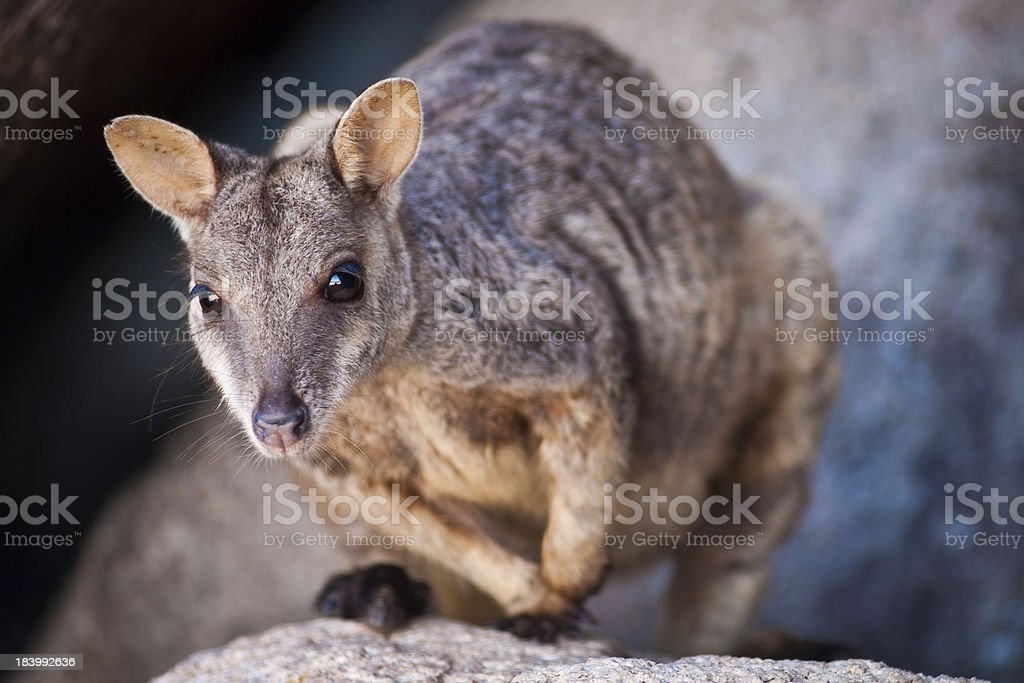 Rock wallaby on Magnetic Island royalty-free stock photo
