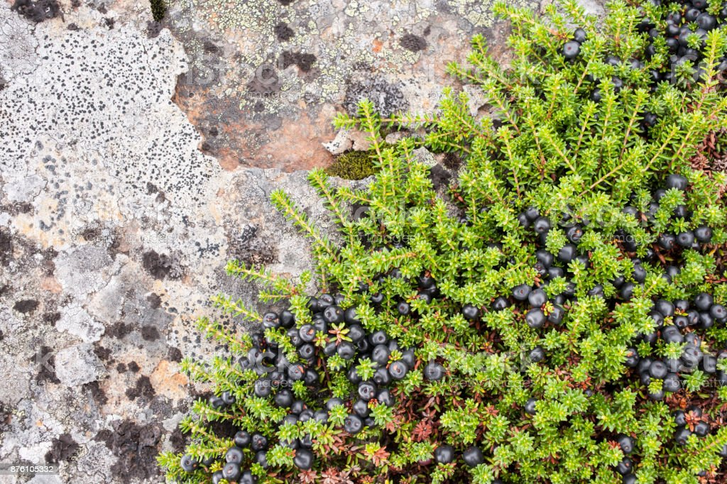 Rock with black crowberry and lichen in Norwegian mountains stock photo