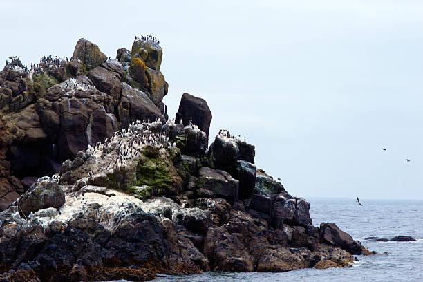 rock con colonne sterna uccelli sulla costa del pacifico, newport - uccello marino foto e immagini stock