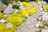 rockery rock garden. gardening background. gardener backyard design element. flowers sedum flowering spring