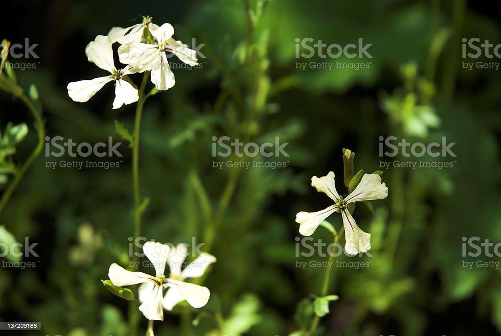 Rocket Flowers stock photo