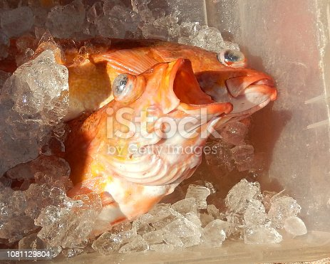 Rockfish, Red Snapper fish on ice. Close up.