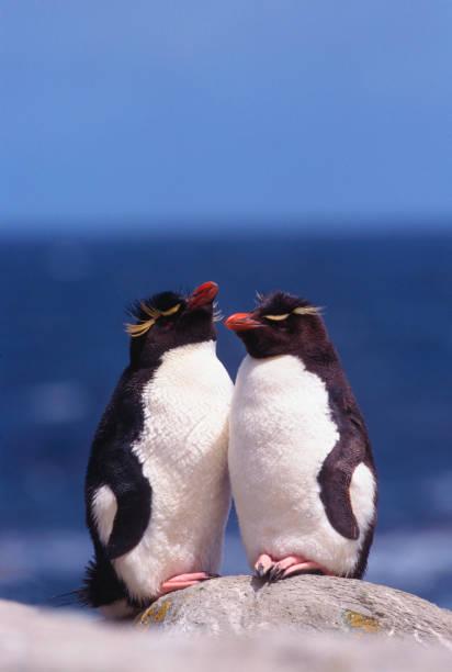 Rockhopper Penguin Pair stock photo