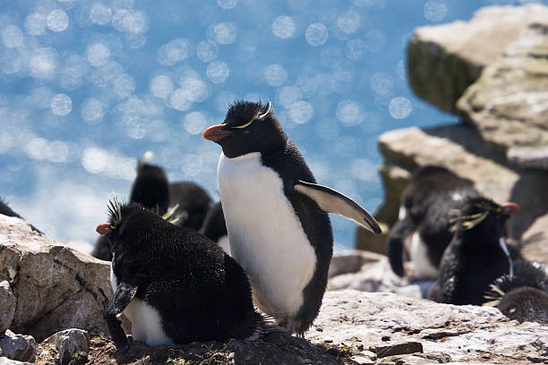 rockhopper penguins family - port stanley falkland islands stockfoto's en -beelden