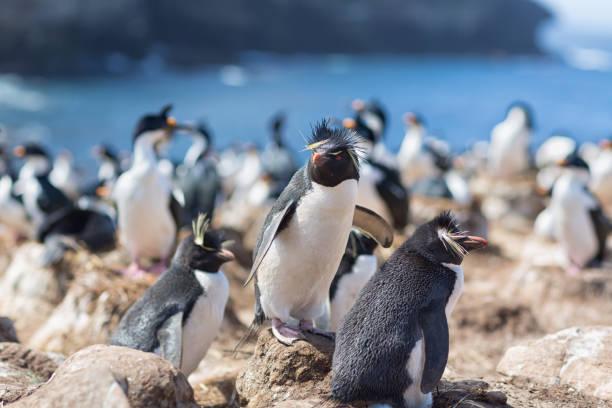 Rockhopper Penguins ((Chrysocome) Eudyptes Chrysocome) auf den Falkland-Inseln – Foto
