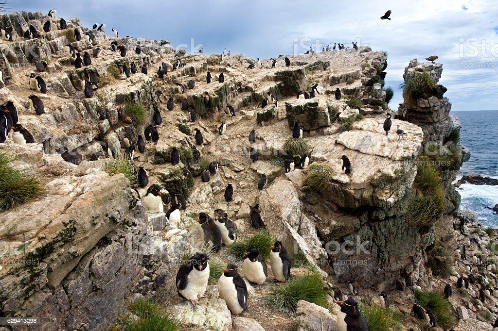 Rockhopper Penguins - Pebble Island - Falkland Islands stock photo