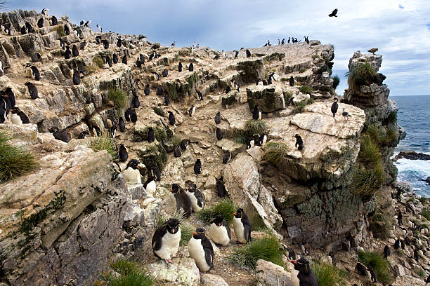 Rockhopper Penguins - Pebble Island - Falkland Islands stock photo