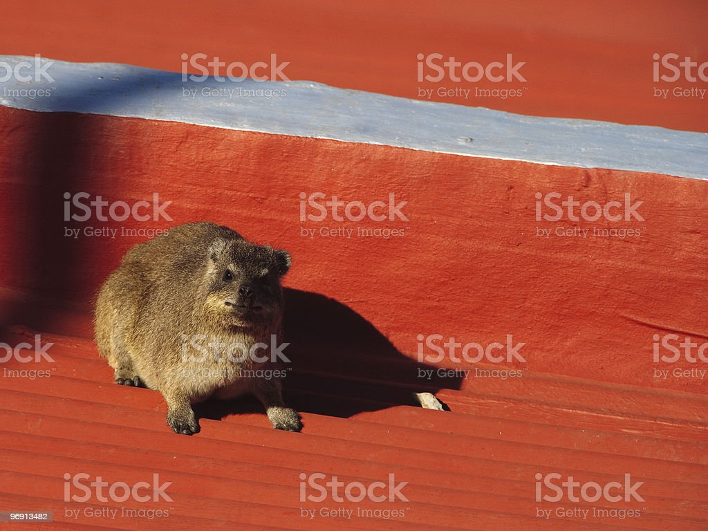 Rock-hyrax on a bench in Cape Town, South Africa [t] royalty-free stock photo