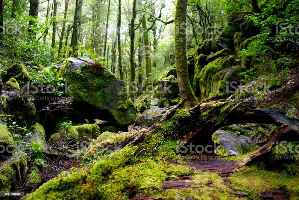 Rocks, Moss & Silver Beech (Nothofagus Menziesii) Forest stock photo