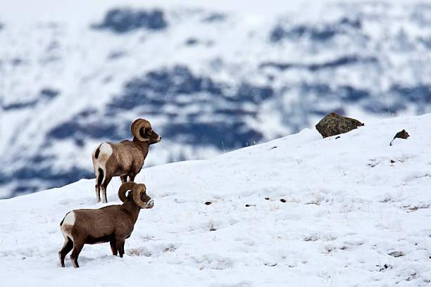 Rocky Mountain Big Horn Sheep (Yellowstone NP) stock photo