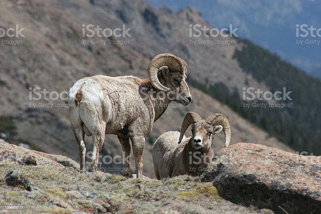 Rocky Mountain Bighorn Sheep 1 royalty-free stock photo