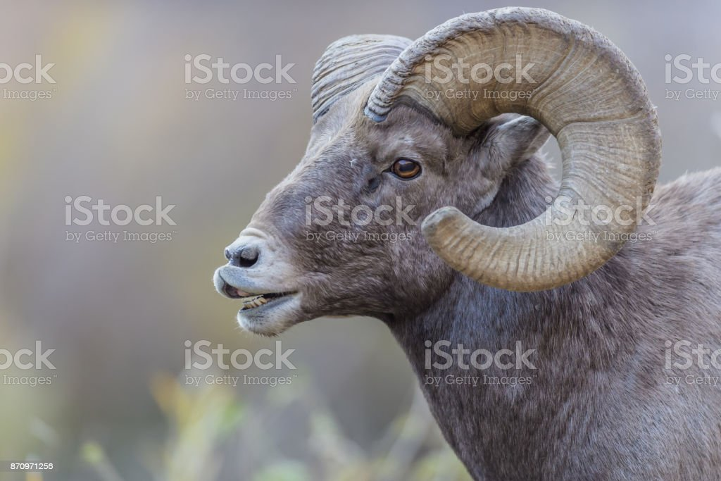 Rocky Mountain Bighorn Sheep Stock Photo & More Pictures of Bighorn ...