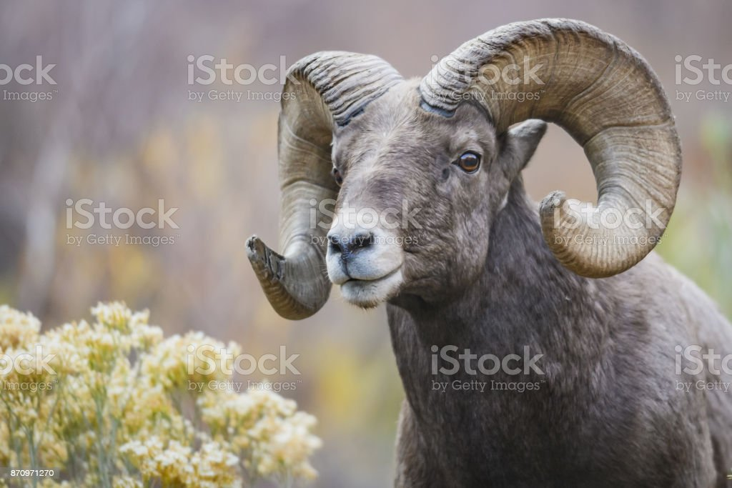 Rocky Mountain Bighorn Sheep Stock Photo More Pictures Of Bighorn