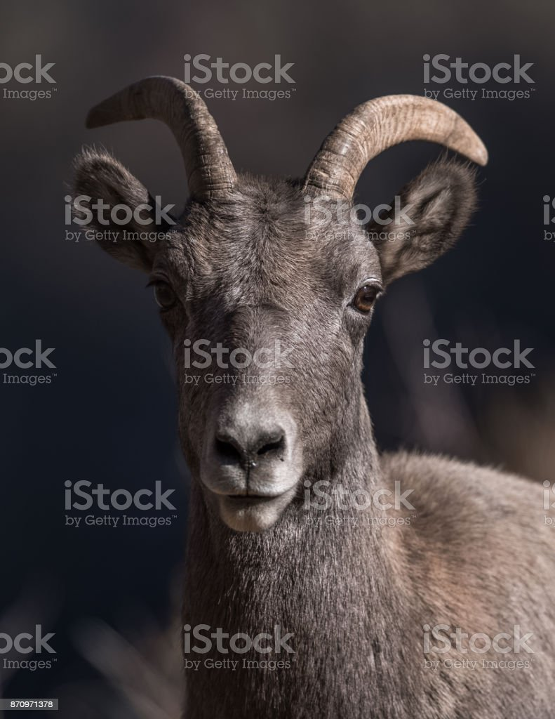Rocky Mountain Bighorn Sheep stock photo