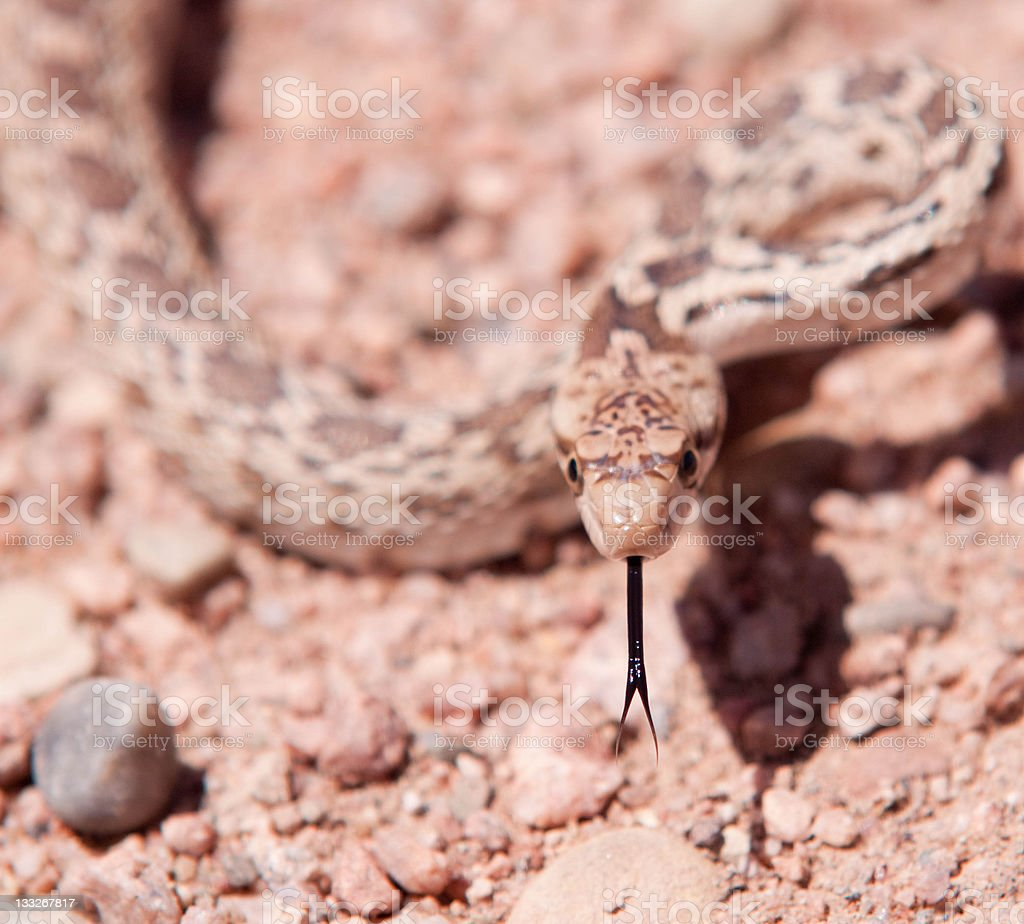 Rocky Mountain Bull Snake forked tongue royalty-free stock photo